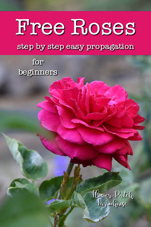 Red rose with text overlay, Free roses from cuttings, step by step for beginners, Flower Patch Farmhouse