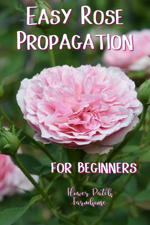 Pink rose with text overlay, Rose Propagation for beginners, Flower Patch Farmhouse