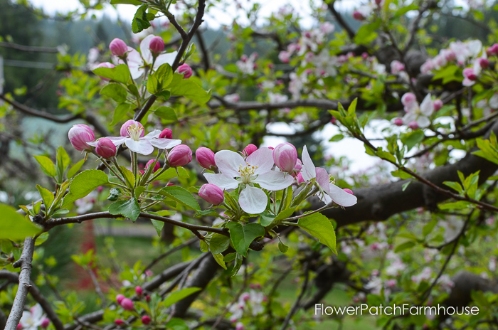 Spring in White Pines April 2016, FlowerPatchFarmhouse.com (38 of 60)