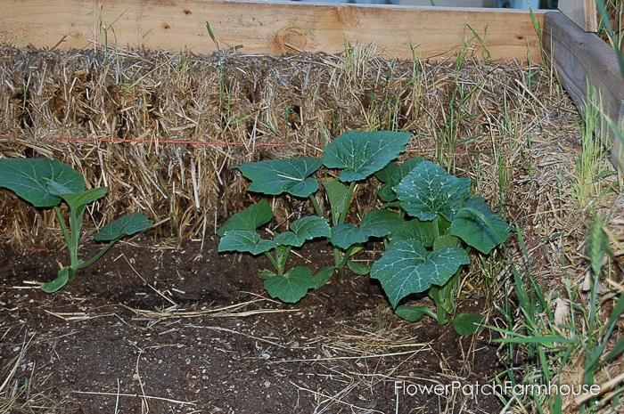 Straw bale garden hot bed