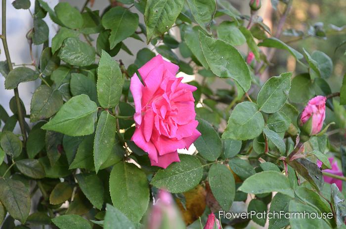 Zepherine Douhin climbing rose