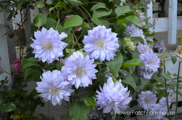 How to Grow Clematis and get a long bloom time