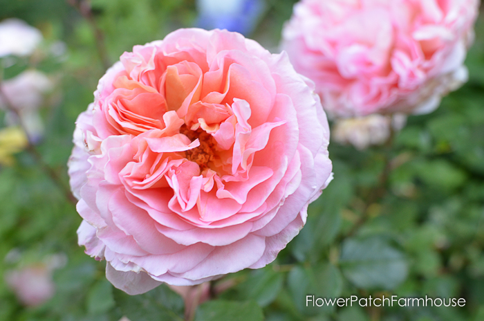 Abraham Darby David Austin Rose, new roses for my garden