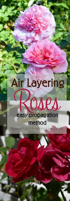 All about plant propagation A fast and easy way to root roses, air layering. You get larger roses faster than you do with cuttings. So fun and easier than you would imagine, you will wonder why you didn't try this before! More roses for FREE. FlowerPatchFarmhouse.com