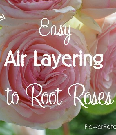 A fast and easy way to root roses, air layering. You get larger roses faster than you do with cuttings. Fun and easier than you would imagine. Come join me in some propagating fun! FlowerPatchFarmhouse.com