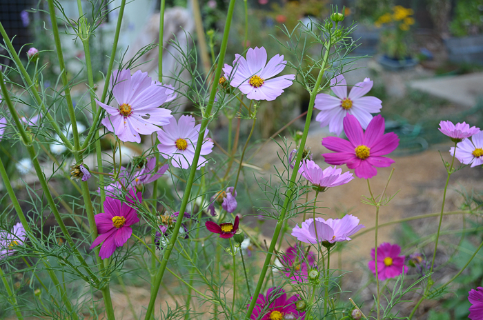 Late Summer Garden 2016, Ten cottage flowers that reseed themselves