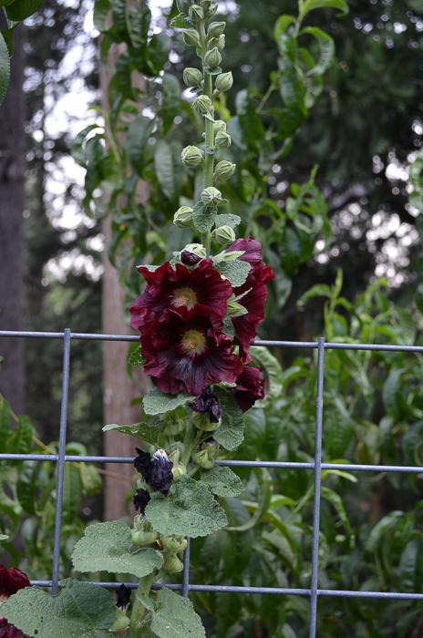 Late Summer Garden 2016, hollyhocks