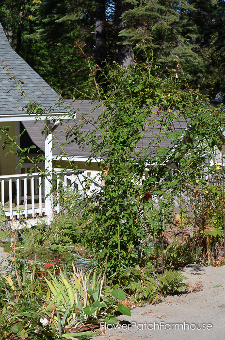 Prune & Train Your Climbing Rose for masses of bloom in Summer. This technique works on all climbing roses and can be done in Fall or late Winter.