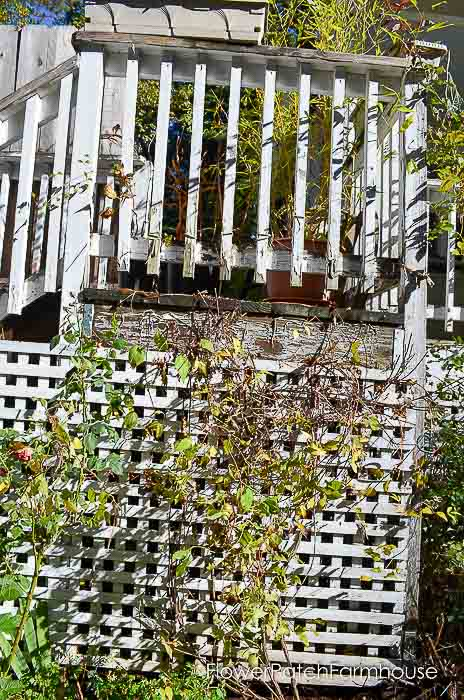 Prune Clematis to Refurbish and get Top to Bottom Blooms
