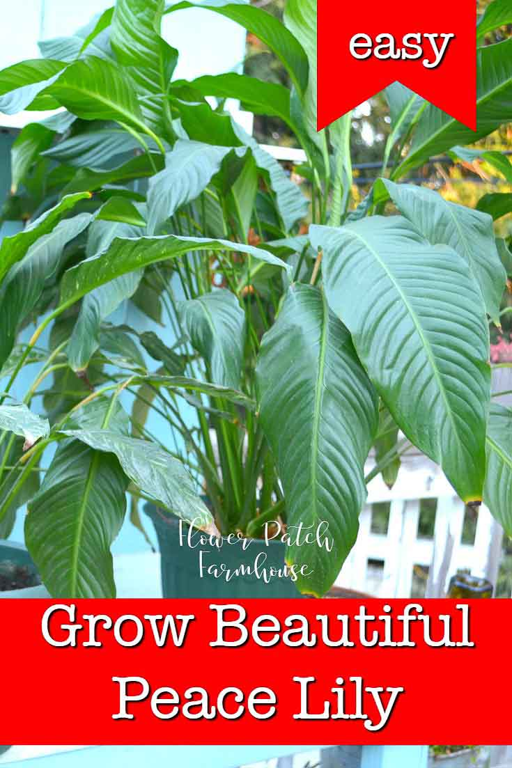 Grow Beautiful Peace Lily, an easy houseplant that is so powerful for purifying your indoor air. A great plant for beginners that want to add houseplants to their decor but Peace Lily do need specific care to grow beautifully. #houseplants #beginnergardening #indoorgarden