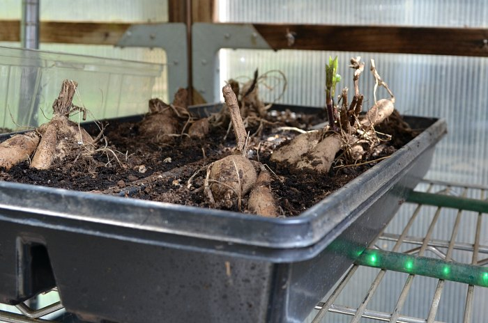 Dahlia tubers planted in plant tray of potting soil, visible sprouts, Propagate Dahlias from Cuttings, Dahlia cuttings are a quick way to get more of what you love.