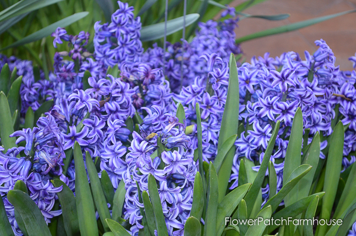 Hyacinths in Barrels at Ironstone