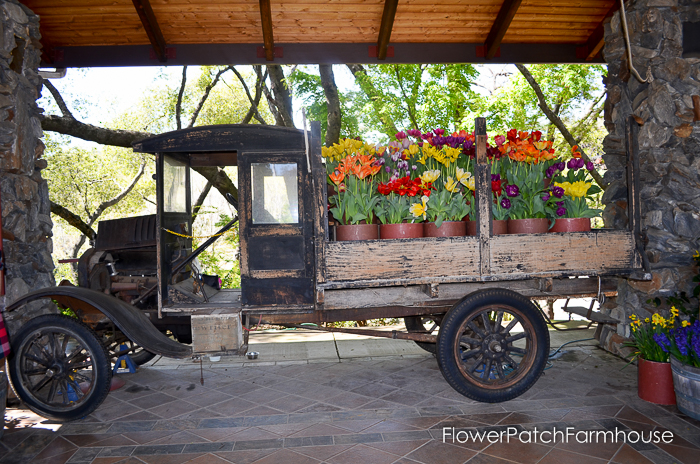More tulips for you from Ironstone Vineyards in Murphys California. Wine country. Old truck to paint