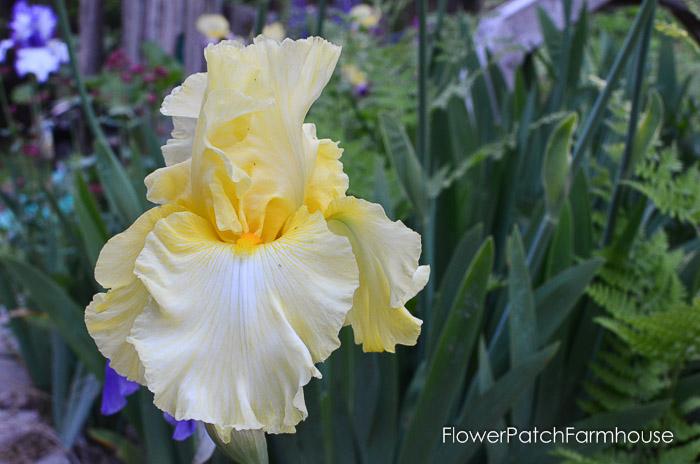 garden walk yellow iris, garden tour late may 2017
