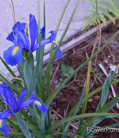 Dutch Iris garden tour may 2017
