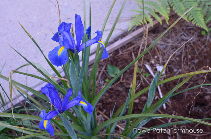 Dutch Iris garden tour late may 2017