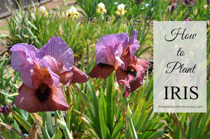 How to Plant Grow and Propagate Iris Flower Patch Farmhouse