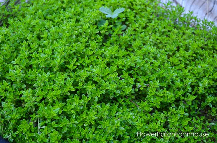 Gorgeous groundcovers, Lime Thyme