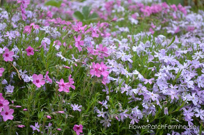 Gorgeous groundcovers, Creeping Phlox