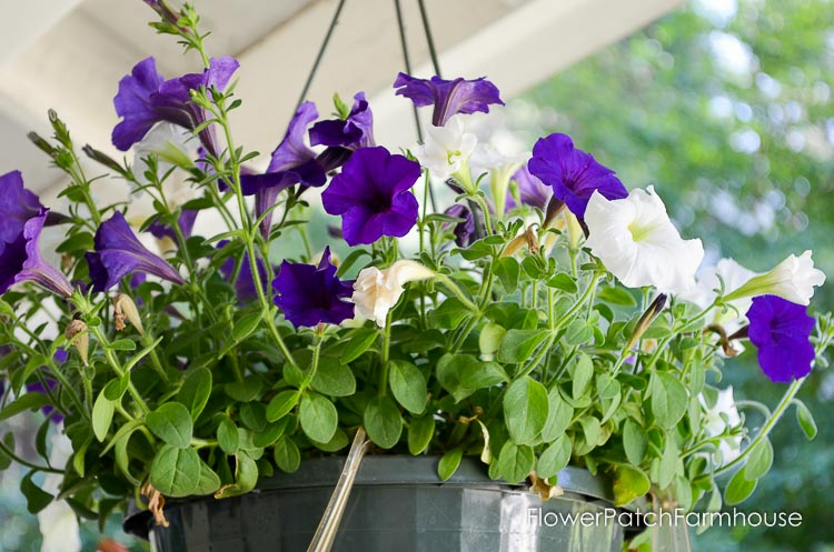 Reviving your potted petunias and other annuals that may look like they are ready to give up the ghost. Refurbishing potted annuals is not hard but the rewards are more luscious blooms for the rest of the summer through Fall.