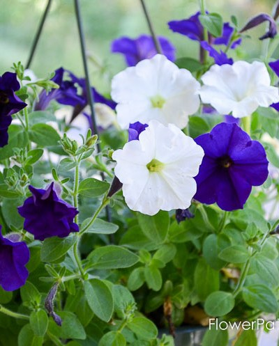 Reviving Potted Petunias