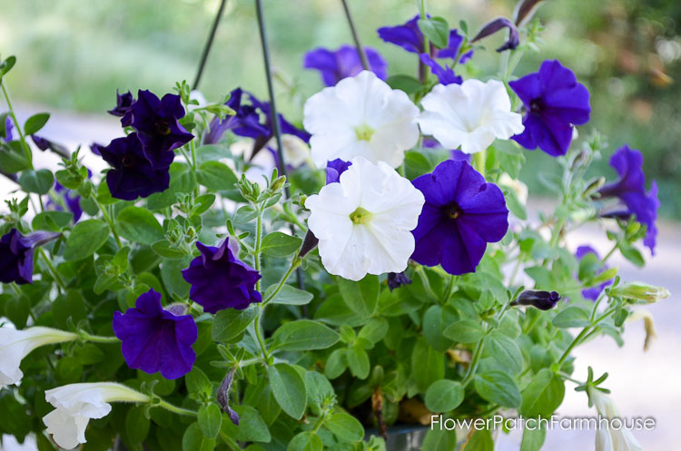 how to grow petunias from cuttings