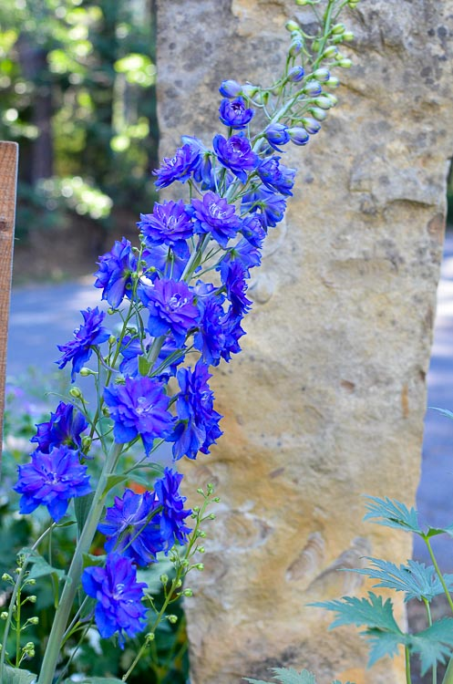 How I Grow Delphiniums, english delphiniums stand tall and stately in the cottage garden. They add height to the garden and come back every year. They will reseed themselves for years of delight or you can collect the seed and start them indoors.