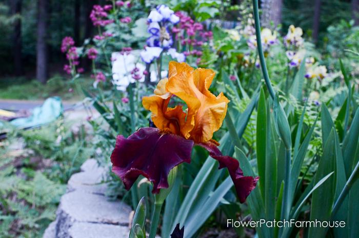 early June 2017 Garden tour, The Sultan Iris