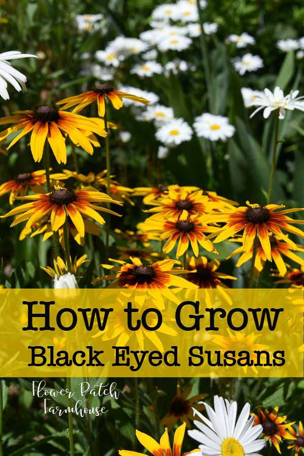Black Eyed Susans, Daisies and Feverfew with text overlay, How to Grow Black Eyed Susans