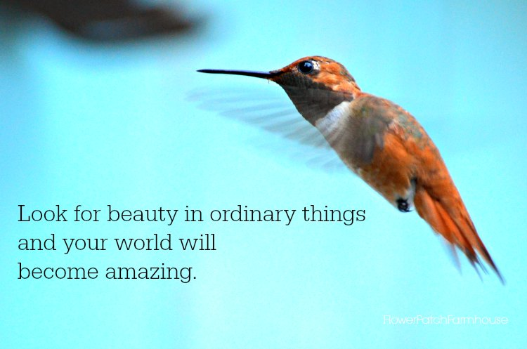 Look for beauty in ordinary things, Rufous hummingbird in flight.