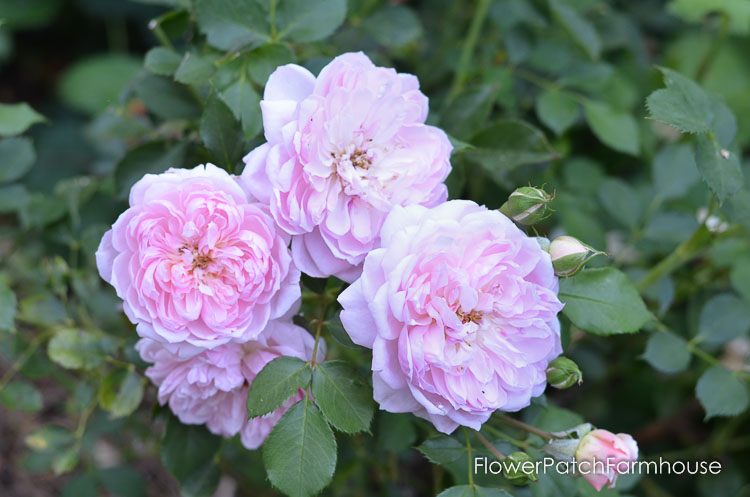 Anne Boelyn rose, David Austin roses