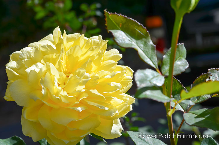 Fall garden 2017, roses