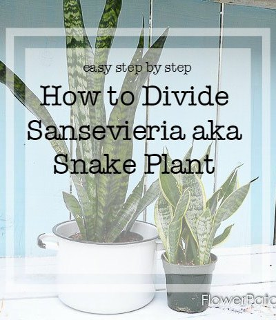 How to Divide Sansevieria or Snake Plant