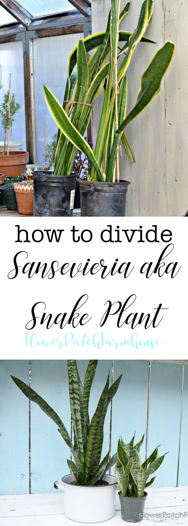 How to Divide Sansevieria plant also known as Snake Plant or Mother in Law's Tongue.  #sansevieria #plantdivision #houseplants