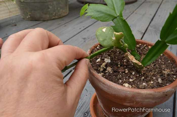 Propagate Christmas Cactus.Easy How To Root Christmas Cactus Plant Flower Patch Farmhouse