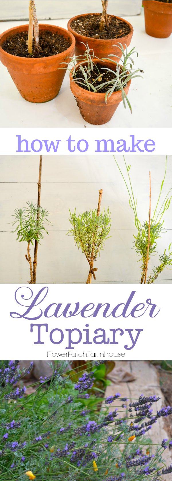 Creating Lavender topiary from cuttings, an easy, fun garden project. #topiary #lavender