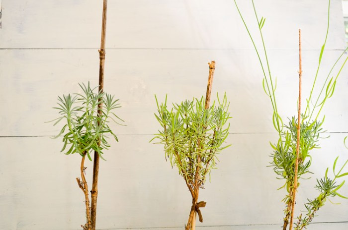 Creating Lavender topiary from cuttings, a fun garden project.