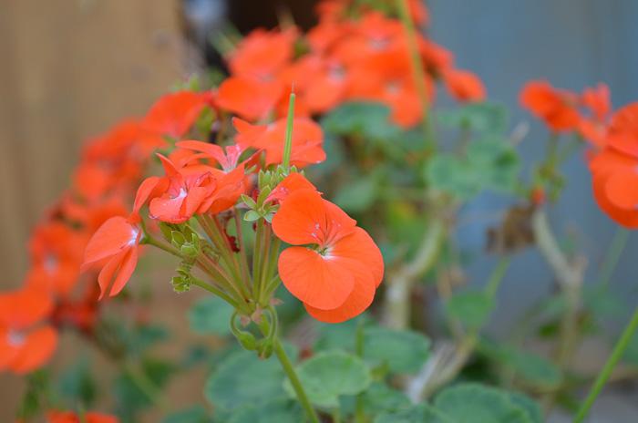 orange geranium flowers