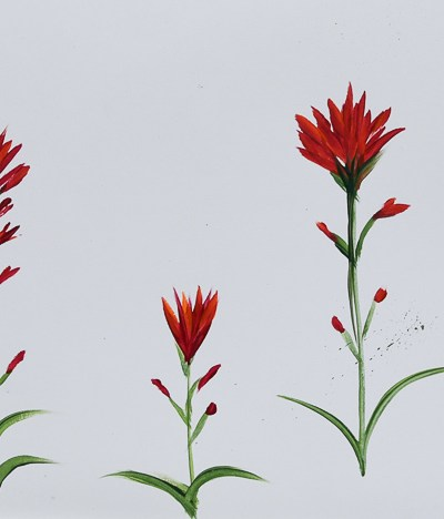 Paint Indian Paintbrush