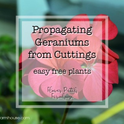 red geraniums with text overlay, propagating geraniums from cuttings, flower patch farmhouse