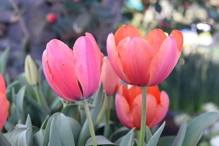 Coral Pink Tulips