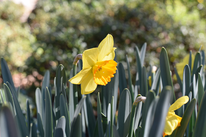 Daffodil with orange on the bell