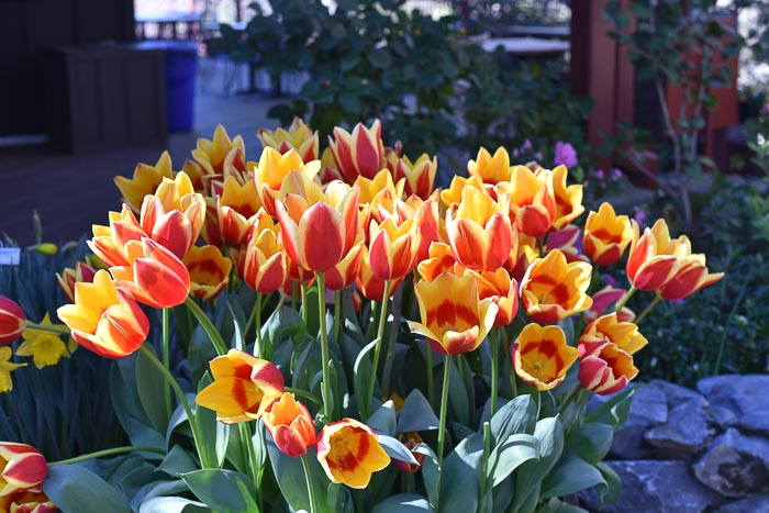 Yellow and Red Tulips in abundance