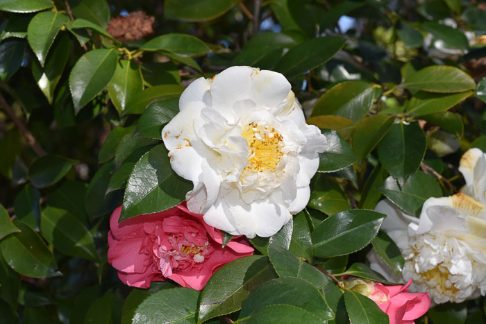 White and Pink Camellia