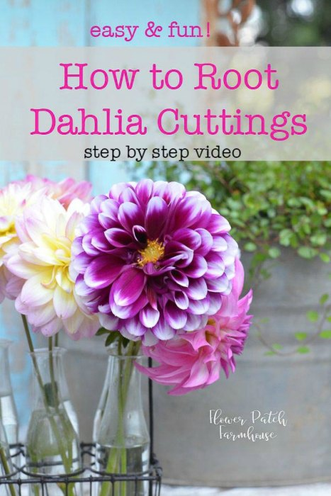 Dahlias in vase, how to propagate Dahlias from cuttings, I show you how step by step and I have a video included.