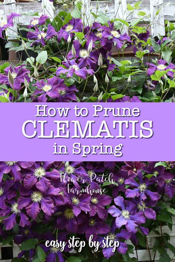 Purple clematis with text overlay, how to prune clematis in Spring, Flower Patch Farmhouse