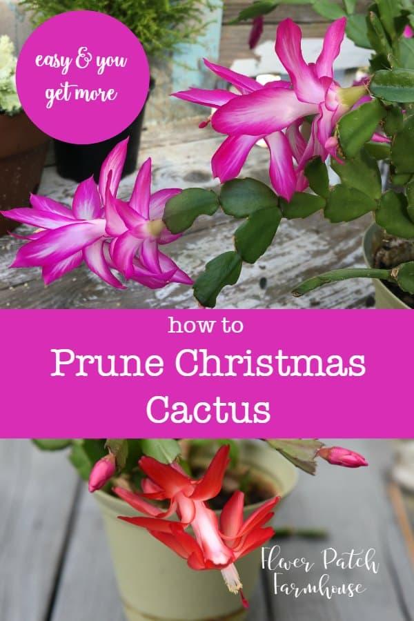easy prune christmas cactus flower patch farmhouse. Black Bedroom Furniture Sets. Home Design Ideas