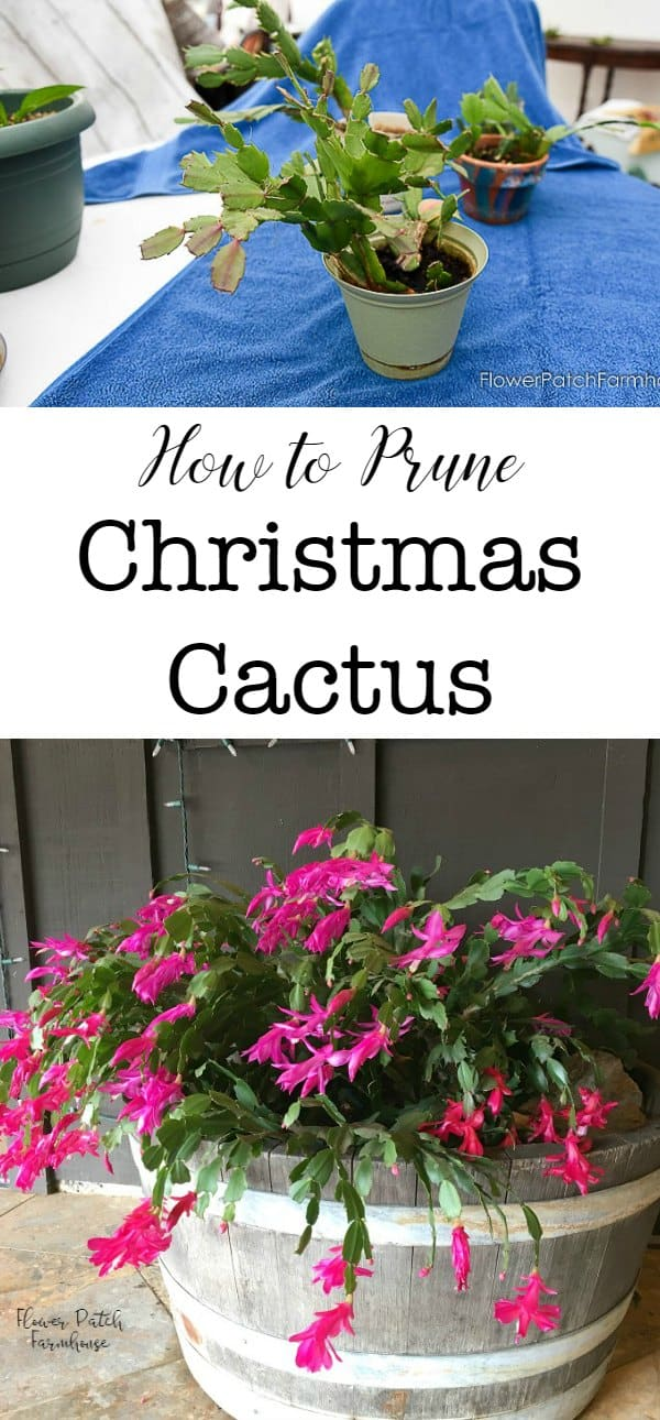 How to Prune Christmas Cactus for a bushier and healthier plant.  And/or keep it a manageable size! Video included.