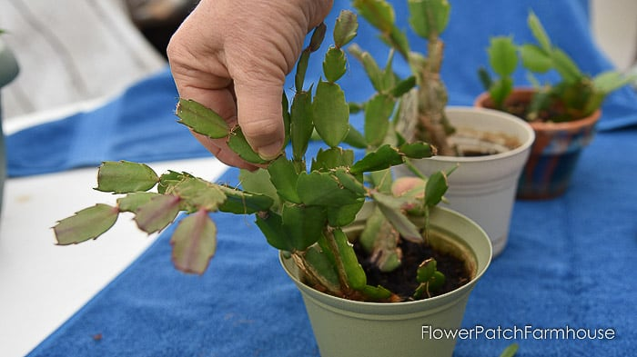 How To Prune A Christmas Cactus.Easy Prune Christmas Cactus Flower Patch Farmhouse