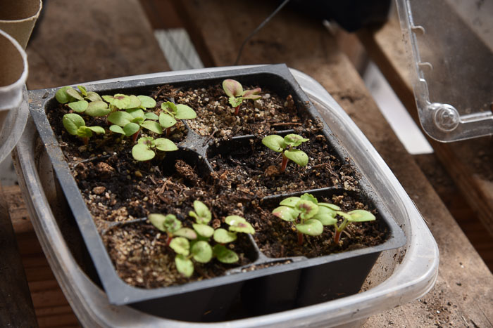 Geranium seedlings